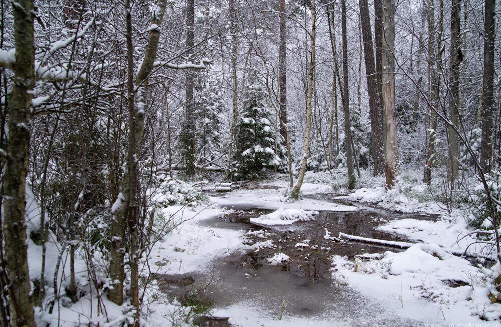 Snö i min hemmaskog