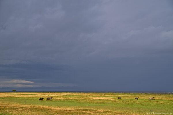 En savann i Sverige